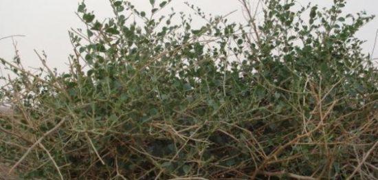 فوائد عشبة الروحب في علاج الامراض بالطب البديل