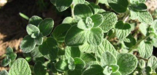 فوائد عشبة الزعيترة لعلاج أصعب الأمراض