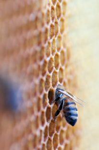 فوائد لسعة النحل لعلاج الأمراض والتقليل من الآلام