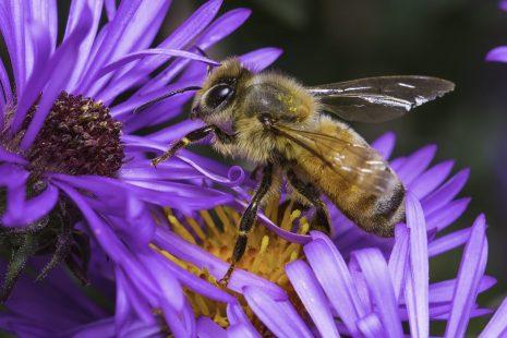 لماذا يصنع النحل العسل وما أهم فوائده الصحية للإنسان؟
