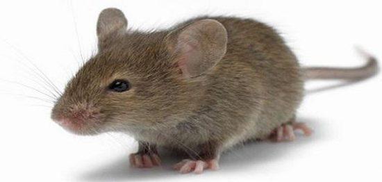 تفسير الفأر في المنام حسب التفسيرات لابن سيرين